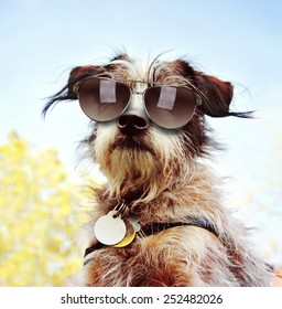 a cute chihuahua terrier mix with sunglasses on at a park or backyard