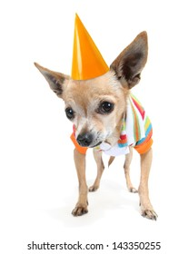 a cute chihuahua in a tiny shirt with a birthday hat on