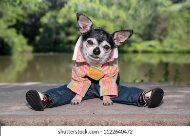 cute chihuahua wearing pants and a shirt