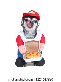 cute chihuahua wearing a pizza delivery costume with a hat studio shot isolated on a white background