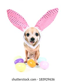 a cute chihuahua wearing rabbit ears surrounded by colorful easter eggs on an isolated white background