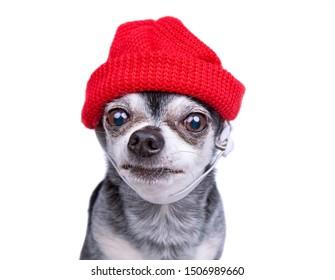 Joli chihuahua portant un chapeau en tricot rouge isolé sur fond blanc - tournage en studio