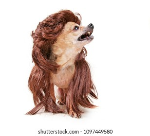cute chihuahua wearing a wig looking at the camera wide angle studio shot isolated on a white background