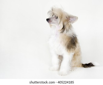 Cute Chinese Crested dog (Powderpuff variety, puppy) on a white background, with copy space on the left for your text