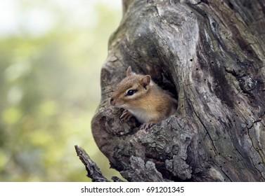 Cute Chipmunk peeks from a tree hole