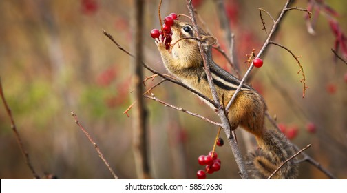 A cute chipmunk perched on a branch is reaching for red wild berries