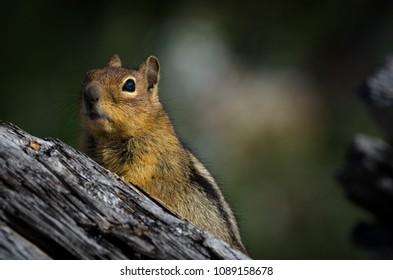 Cute Chipmunk Posing on Driftwood