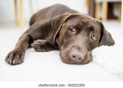 Cute chocolate brown labrador portrait
