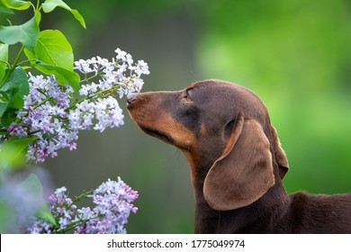 Cute chocolate dachshund puppy on natural green background