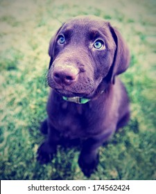a cute chocolate lab puppy sitting in the grass done with a vintage retro instagram filter