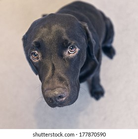 Cute Chocolate Labrador
