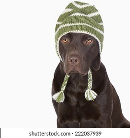 Cute Chocolate Labrador in Winter Hat