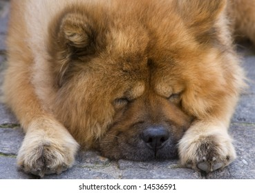 Cute chow breed dog sleeps on the road