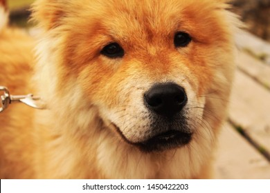 Cute chow chow pupp, looks like smiling