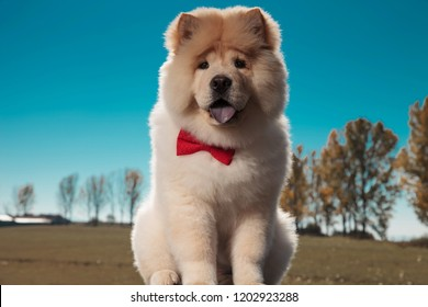 cute chow chow puppy dog sitting and panting against outdoor backgground