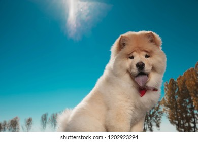 cute chow chow sticking out its blue tongue against sunny blue sky, outdoor picture