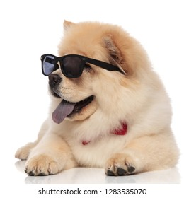 cute chow chow with sunglasses and bowtie looks to side while relaxing on white background and panting