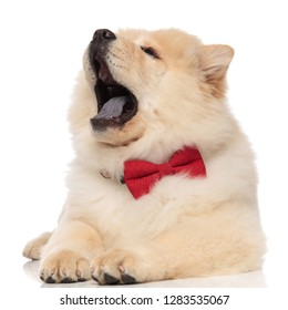 cute chow chow wearing red bowtie yawning while lying on white background and looking up to side