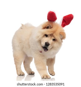 cute chow chow wearing red bunny ears headband stands on white background and looks down while panting