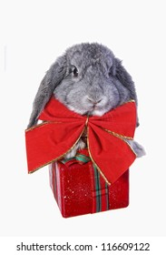 Cute Christmas grey mini lop baby bunny rabbit wearing big red bow isolated on white background