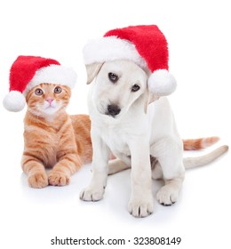 Cute Christmas pet Labrador puppy dog and Xmas animal kitten cat in Santa hats on white