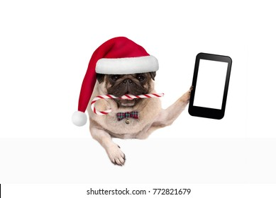 cute Christmas pug dog with santa hat and candy cane, holding up mobile smart phone, paw leaning on white banner, isolated