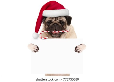 cute Christmas pug dog with santa hat and candy cane, holding up blank white banner card, isolated on white background