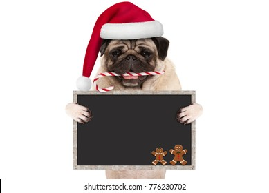 cute Christmas pug dog with santa hat and candy cane, holding up blank blackboard sign, isolated on white background