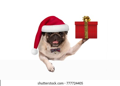 cute Christmas pug dog with santa claus hat, holding up present in gift box, hanging on white banner, isolated