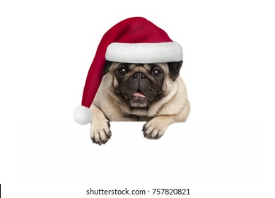 cute Christmas  pug puppy dog wearing red santa hat hanging with paws on blank white banner, isolated on white background