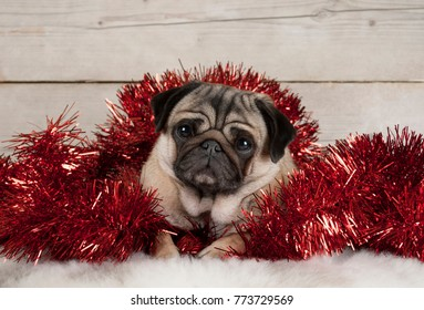 cute Christmas pug puppy dog, lying down in red tinsel on sheepskin, with vintage wooden background