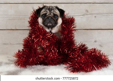 cute Christmas pug puppy dog, sitting down wrapped  in red tinsel on sheepskin, with vintage wooden background