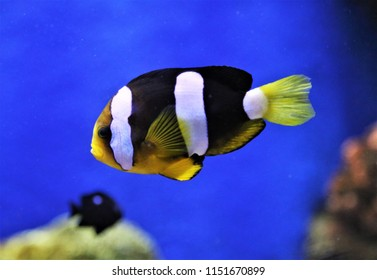 A cute Clark's anemonefish (yellowtail clownfish) swimming in  marine aquarium. Amphiprion clarkii  is marine fish in family Pomacentridae. .