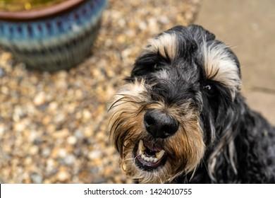 Cute close up cockerpoo portrait