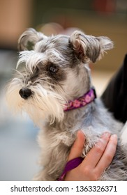 cute close up of mini schnauzer, wearing red collar being held