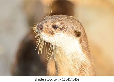 Cute close up portrait of an Asian or Oriental small clawed otter (Aonyx cinerea)