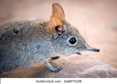 A cute close up portrait of a shy elephant shrew, taken at sunset in the Pafuri concession of the Kruger national Park, South Africa.