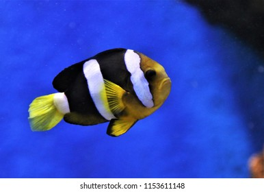 A cute clownfish in  marine aquarium.  Amphiprion clarkii (Clark's anemonefish,yellowtail clownfish) is belonging to family Pomacentridae. It is colorful, with vivid black, white, and yellow stripes.