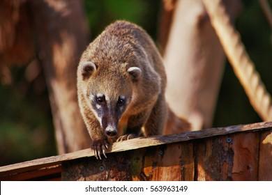 Cute coati, wild animal looking like raccoon