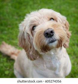 A cute cockapoo dog