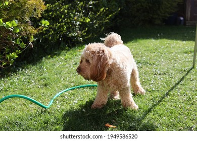Cute Cockapoo with gardenhose on a summer day in garden.
