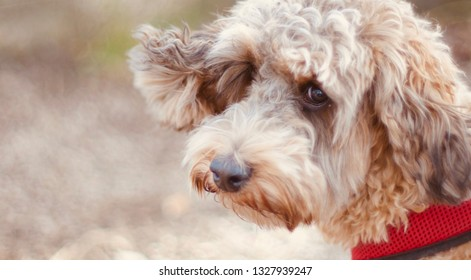 Cute cockapoo puppy dog with sable colouring