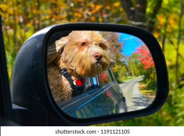 Cute Cockapoo puppy enjoying a ride while hanging out a car window