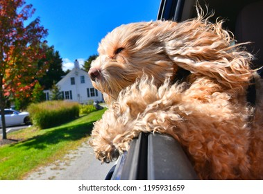 Cute Cockapoo puppy riding with his head out the window