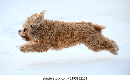 Cute Cockapoo puppy running through the snow