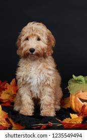 Cute cockapoo sitting on black background with autumn leaves