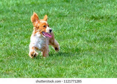 Cute cocker spaniel dog running in a green grass field.