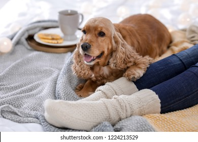 Cute Cocker Spaniel dog with warm blanket lying near owner on bed at home. Cozy winter