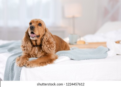 Cute Cocker Spaniel dog with warm blanket on bed at home. Cozy winter