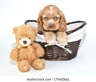 A cute Cocker Spaniel puppy sitting in a basket with a teddy bear beside him on a white background.